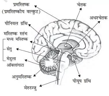 Brain-in-hindi