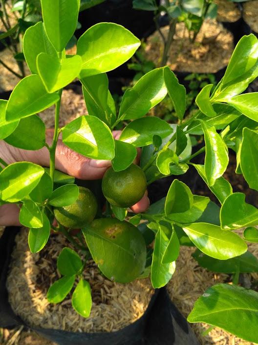 bibit tanaman buah jeruk kasturi Banten