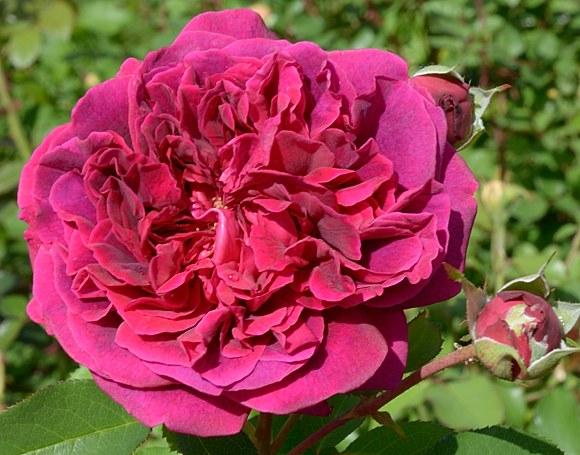 William Shakespeare 2000 сорт розы фото купить саженцы Минск питомник