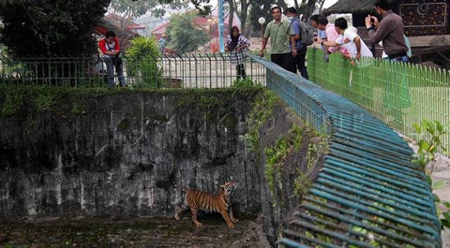 Kandang Harimau Kebun Binatang Kinantan Bukittinggi