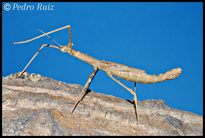 Hembra adulta de Onchestus rentzi, 11 cm de longitud