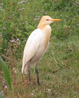 Cattle Egret, Bubulcus ibis coromandus