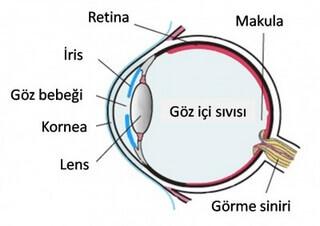 göz organları