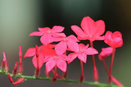 Manfaat Dan Khasiat Flora Akar Binasa (Plumbago Indica Linn)