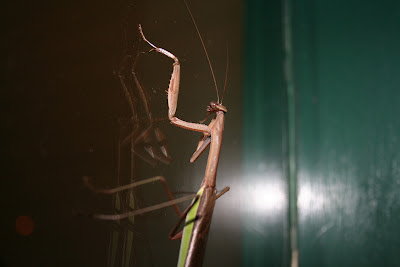 mantis on a window