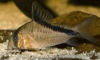 Jenis Ikan Corydoras melini