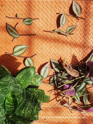 Zebrina, wandering jew, Tradescantia,Inch plant propagation