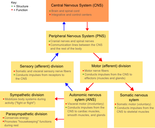 essay on the autonomic nervous system