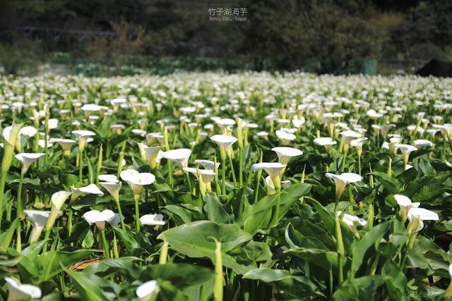 2018 竹子湖海芋季