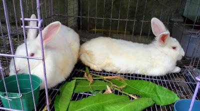 kelinci koleksi baru di mini zoo semut