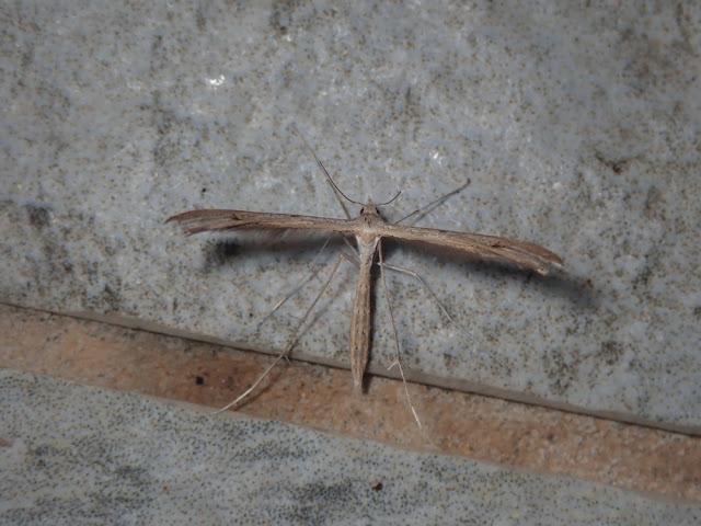Stenoptilia sp