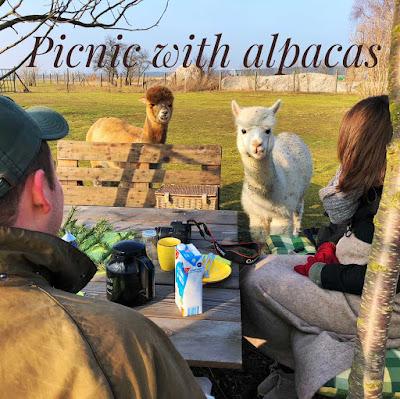 Alpaka Picknick nähe Berlin