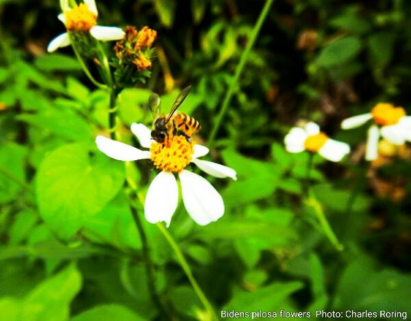 Black jack flowers bidens pilosa
