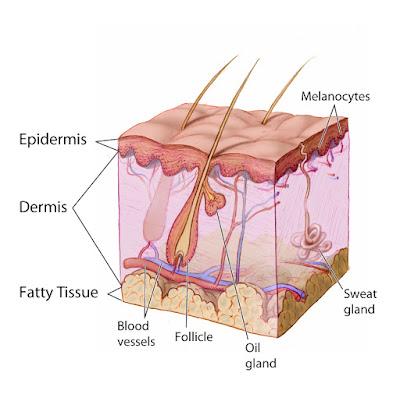 त्वचा dermis क्या होती हे और ये कितने प्रकार की होती है