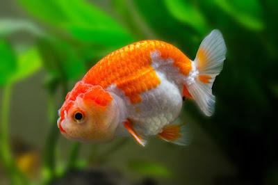 Ikan Mas Koki Ranchu ( Ranchu Goldfish )