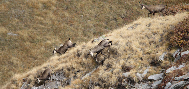 Merveilleux chamois des Alpes