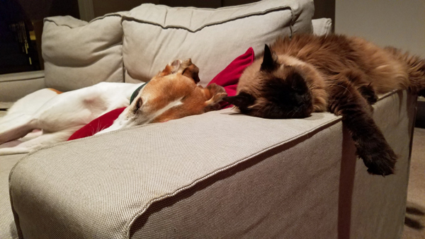 image of Dudley the Greyhound and Matilda the Fuzzy Sealpoint Cat taking a nap on the couch together