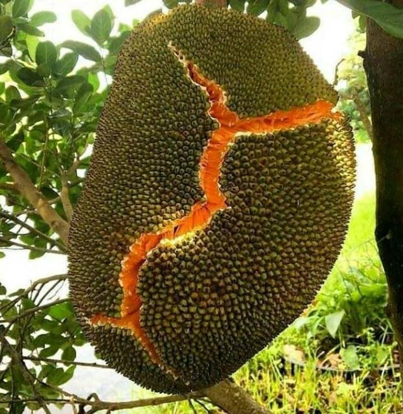 Bibit nangka merah asli original super unggul Kepulauan Riau