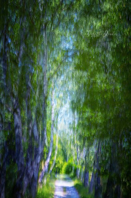 avenue of birches, Birken, birches, photoart, art, Kunst, Fotokunst, icm, intentional camera movement, gestische Fotografie, Sauerland