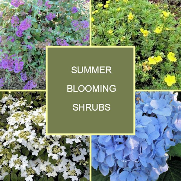 A Guide To Northeastern Gardening 18 Summer Blooming Shrubs For