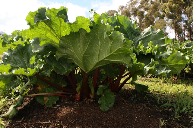 rhubarb growing in a garden