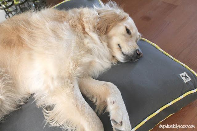 golden retriever sleeping on Molly Mutt dog bed