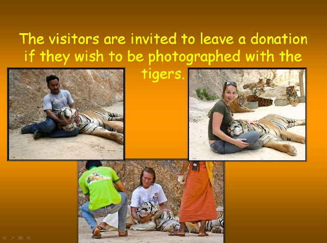 THAILAND'S TIGERS!