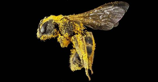 The Bee Is Declared The Most Important Living Being On The Planet