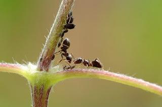 Bagaimana Semut Berkomunikasi Menggunakan Feromon
