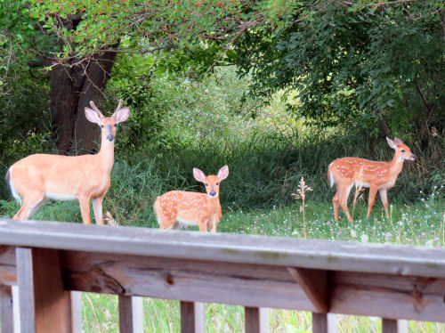 whitetail twin fawns and a buck