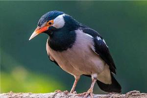Jenis Burung Jalak yang Ada Di Indonesia 5 Jenis Burung Jalak yang Ada Di Indonesia