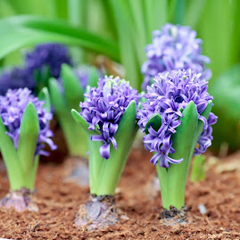 Purple hyacinths blooming from bulbs in the garden.