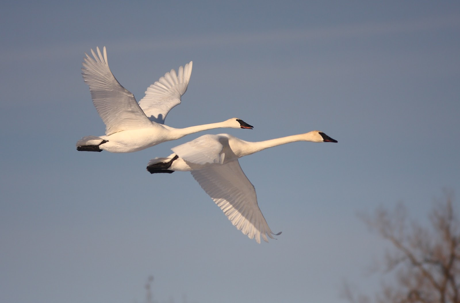 Two swans flying