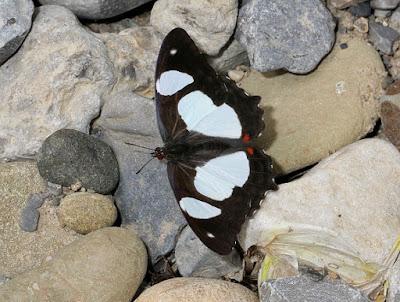 Mariposa tobiana (Pyrrhogyra amphiro)