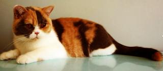 britisch kurzhaar - bkh kitten - katze - british shorthair - cat -  britisch kurzhaar kaufen - britische kurzhaar katze -  britisch kurzhaar züchter