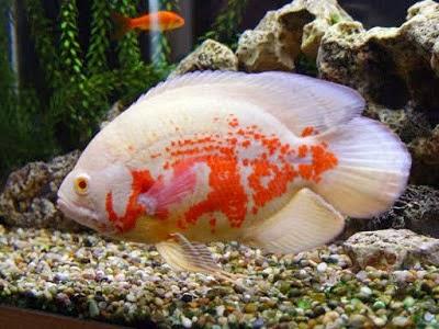 Pemijahan Ikan Oscar Akuarium Ikan Hias