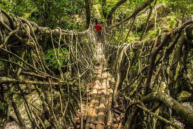 Root bridge series more than 500 years old