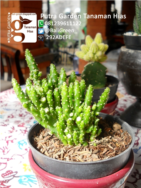 PUTRA GARDEN BALI: Tanaman Kaktus Mini Unik Untuk Dekorasi