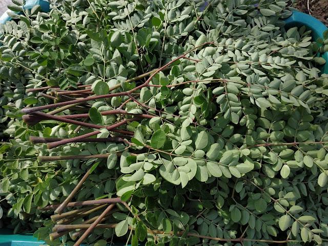 malunggay-leaves-harvest