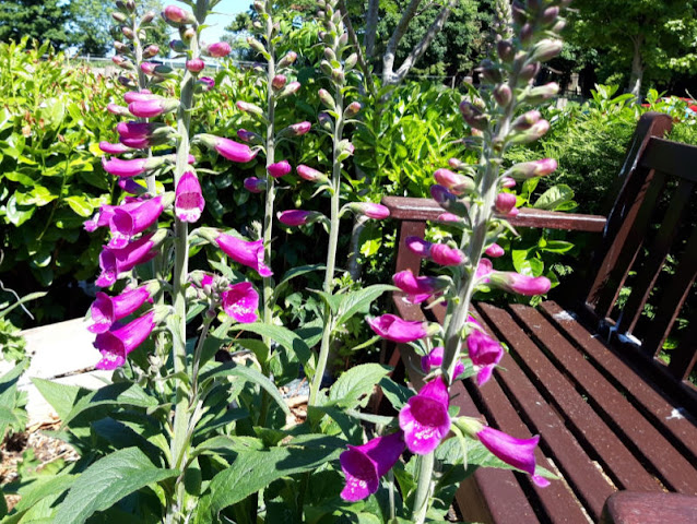 Deep pink Foxglove flowers opened, with garden bench in background