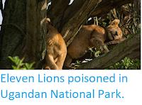 http://sciencythoughts.blogspot.com/2018/04/eleven-lions-poisoned-in-ugandan.html
