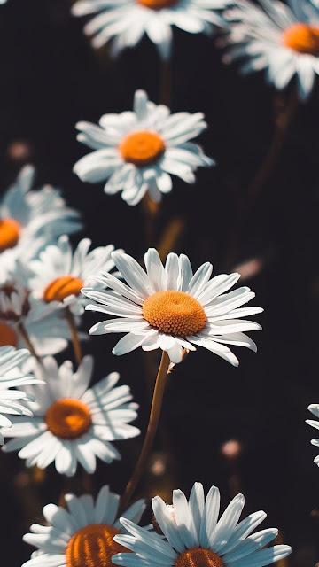 خلفيات جوال رائعة لزهور الأُقْحُوَانُ