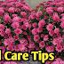 गुलदाउदी पर ज्यादा फूल लेने के लिए क्या करें ?