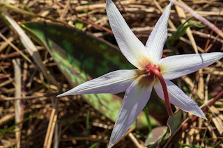 [Liliaceae] Erythroninum dens-canis – Dog's-tooth-violet or Dogtooth violet