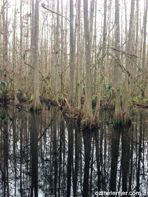 Trees reflect in the swamp at Highlands Hammock State Park