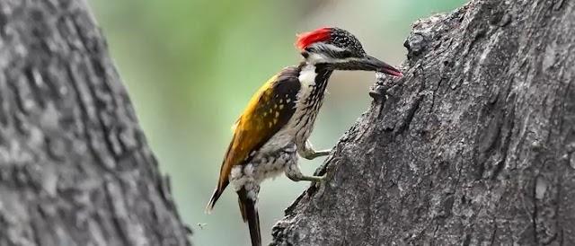 কাঠঠোকরা পাখি (woodpeckers) কাঠ ঠোকরায় কেন?