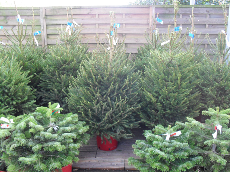 HOW TO GROW A CHRISTMAS TREE