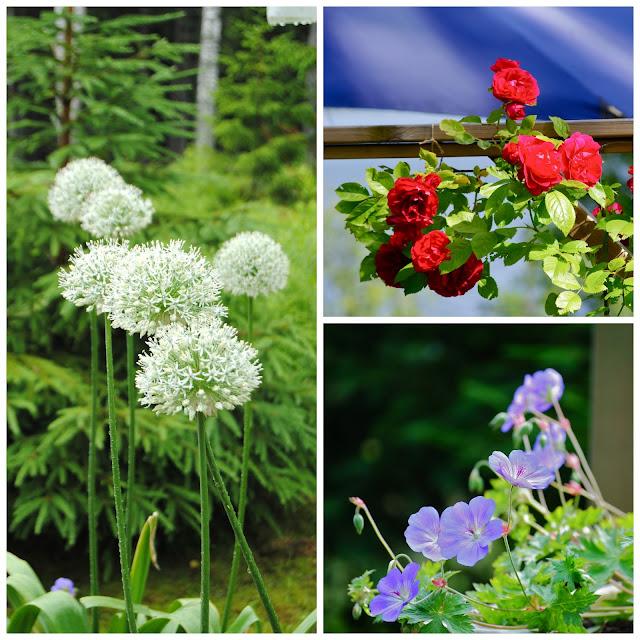 Allium Mount Everest_Rosa Flammentanz Geranium Rozanne