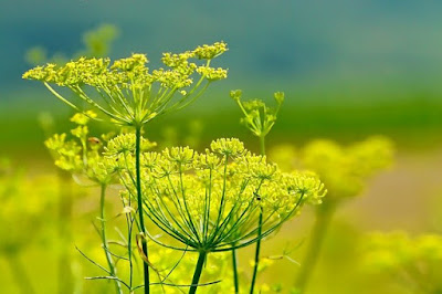 tanaman herbal adas