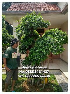 Jual pohon bonsai beringin korea